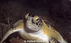 Green Sea Turtle on the Big Coral Knoll off the beach in ... by Michael Kovach 